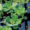 Watersla (Pistia stratiotes) drijfplant