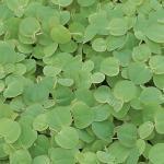 Roodwortel (Phyllanthus fluitans) drijfplant