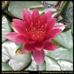 Rode waterlelie (Nymphaea Burgundy Princess) waterlelie