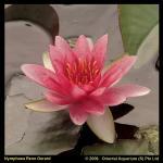 Roze waterlelie (Nymphaea René Gérard) waterlelie