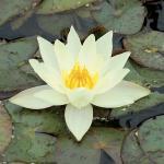 Gele dwergwaterlelie (Nymphaea pygmaea Helvola) waterlelie