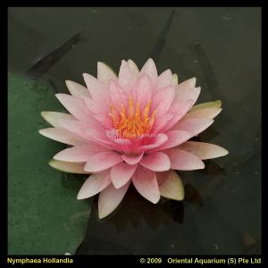 Roze waterlelie (Nymphaea Hollandia) waterlelie
