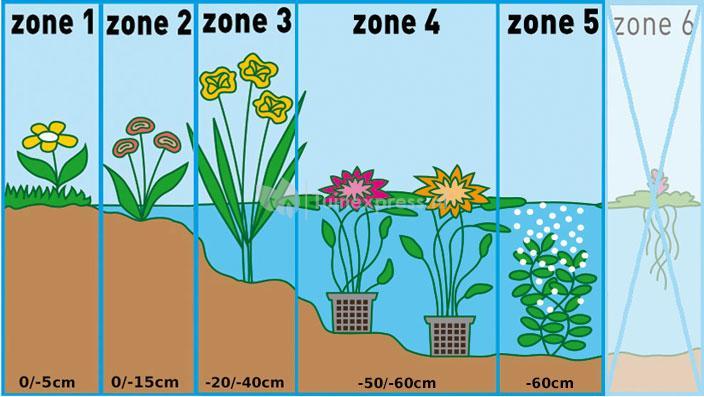 "Waternavel (Hydrocotyle ""Nova-Zealandiae"") zuurstofplant"
