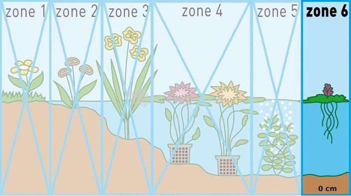 Amerikaanse kikkerbeet (Limnobium spangia) drijfplant